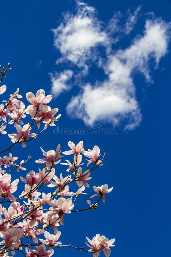 Magnolia wit-roze bloemen tegen een blauwe hemel met wolk royalty-vrije stock afbeeldingen