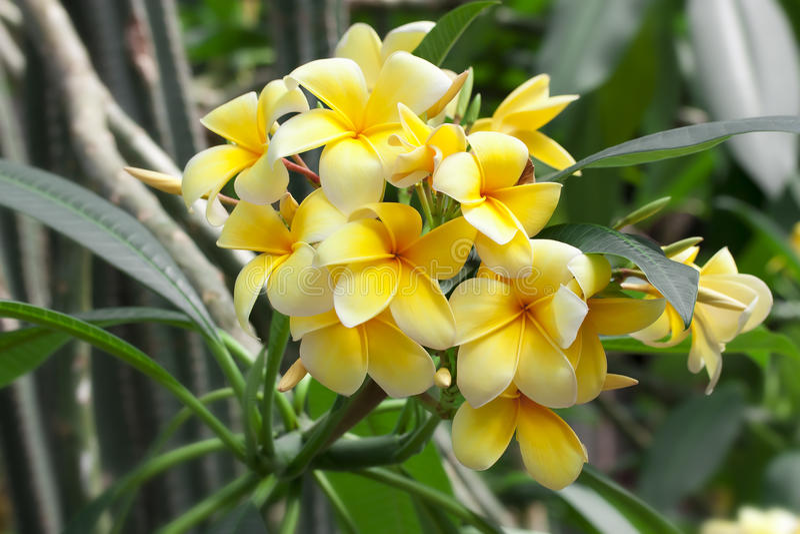Magnolia yellow flowers stock image image of beauty 63419297 download magnolia yellow flowers stock image image of beauty 63419297 mightylinksfo Gallery