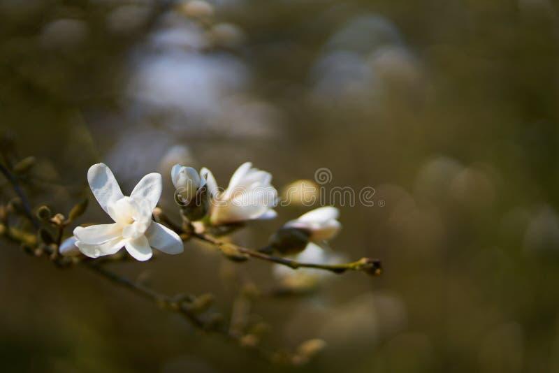 Magnoliabloem in bloesem royalty-vrije stock foto's