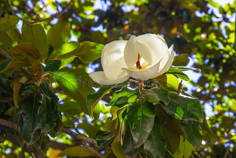 Magnoliabloem in de Zomer met Bij royalty-vrije stock fotografie