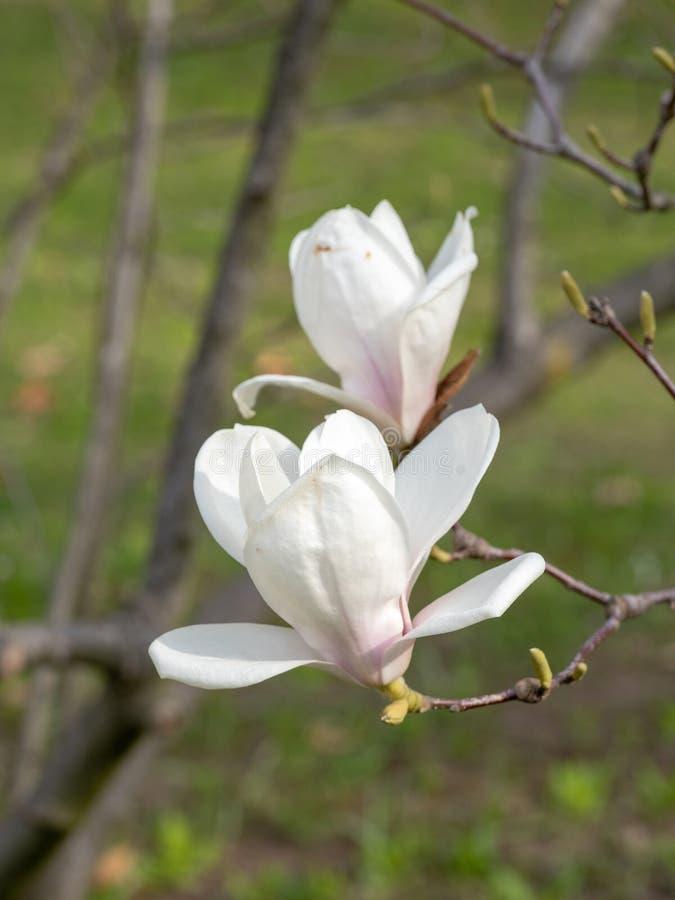 Magnoliabloem op boomtak op vage achtergrond stock fotografie