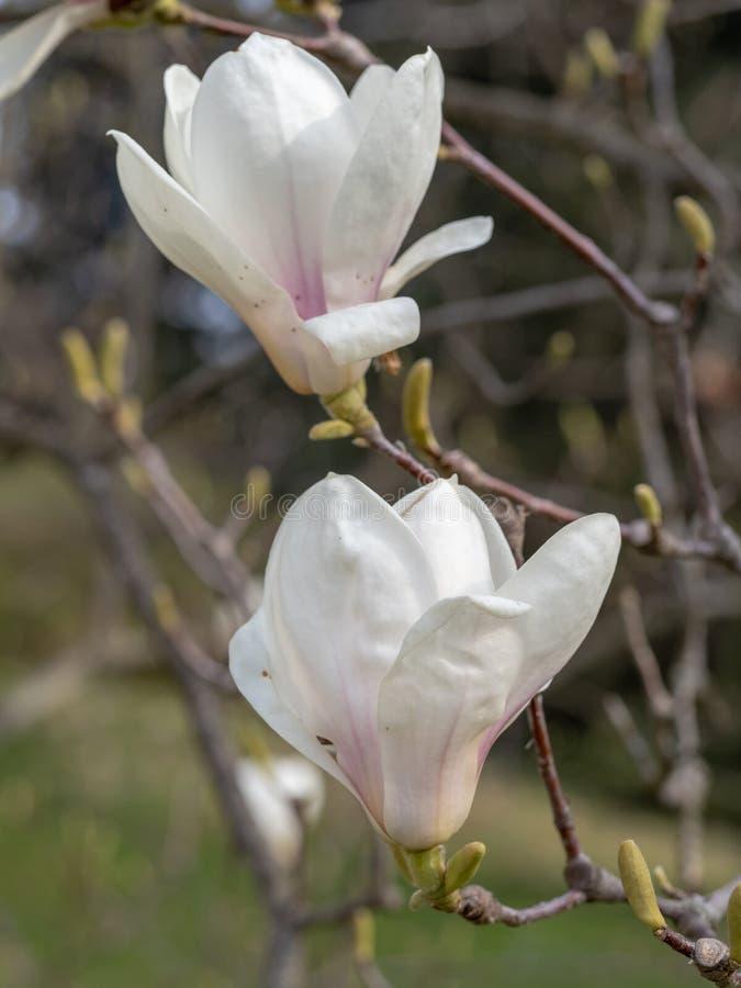 Magnoliabloem op boomtak op vage achtergrond royalty-vrije stock afbeeldingen