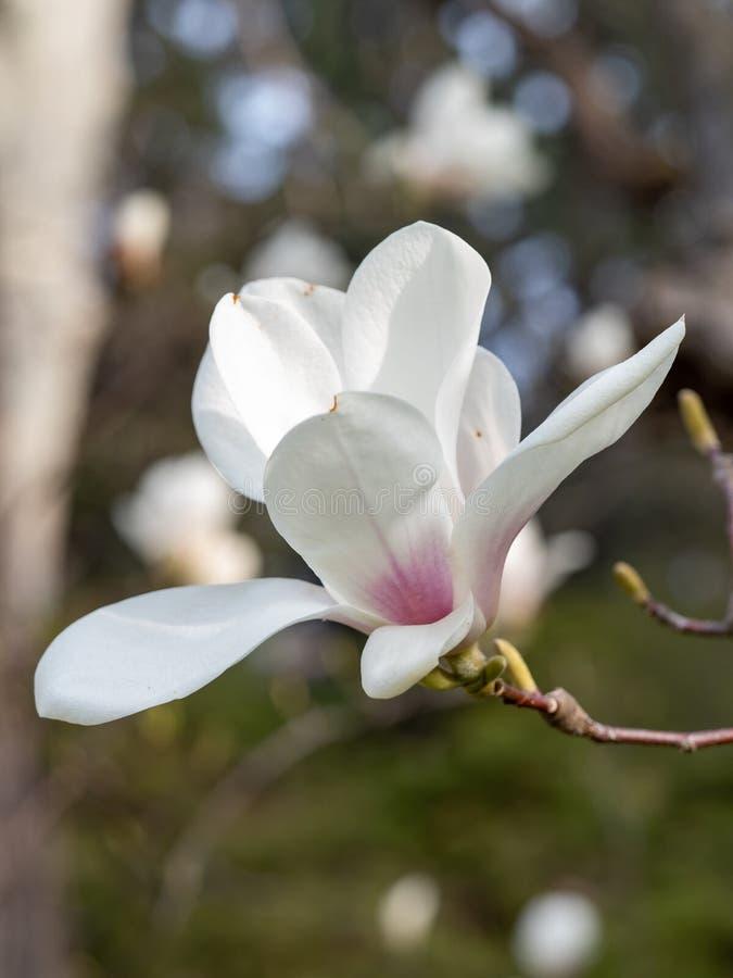 Magnoliabloem op boomtak op vage achtergrond stock foto's