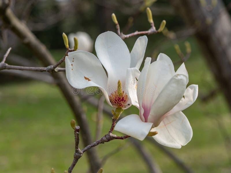 Magnoliabloem op boomtak op vage achtergrond royalty-vrije stock foto