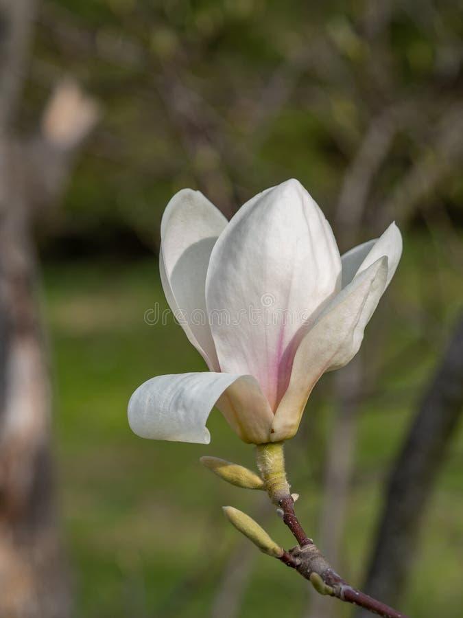Magnoliabloem op boomtak op vage achtergrond royalty-vrije stock afbeelding