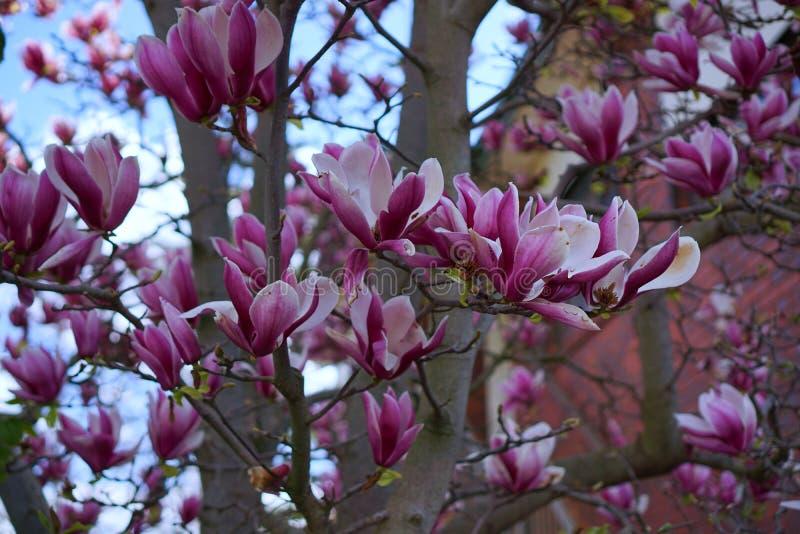 Magnoliabloemen in Australië royalty-vrije stock foto
