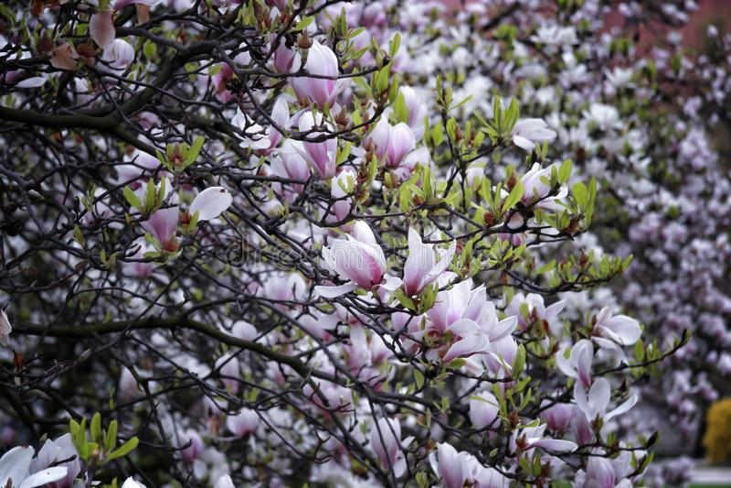 Magnoliabloemen op boom royalty-vrije stock fotografie