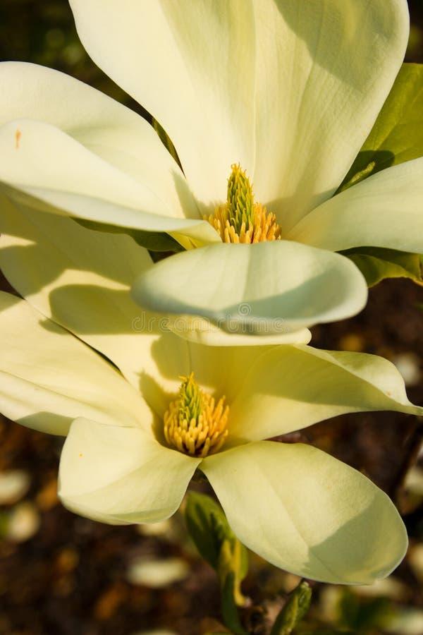 Magnoliablom fotografering för bildbyråer