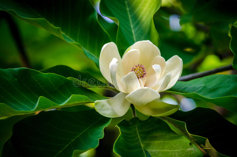 Magnoliablomma arkivbilder