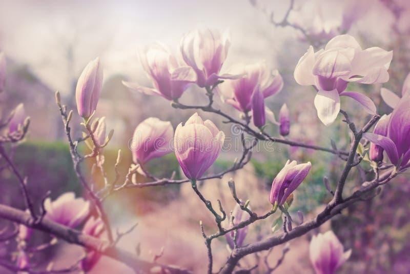 Magnoliablomma, blomstrat härligt royaltyfria bilder