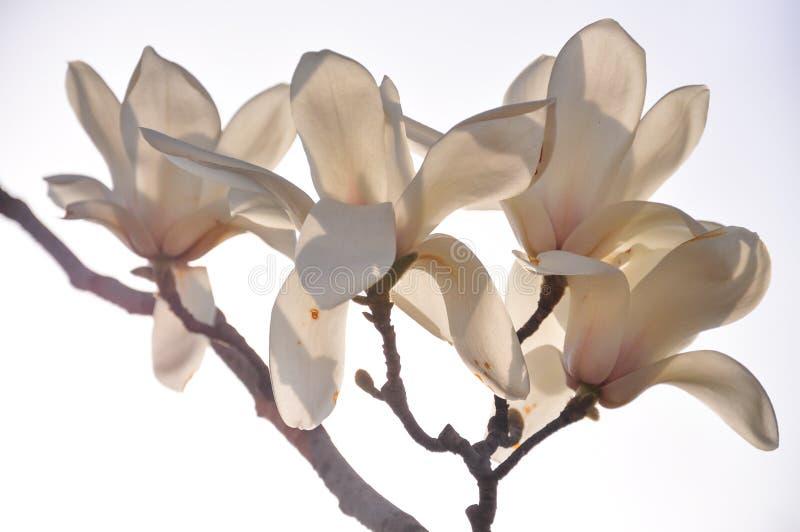 Magnoliablomma med vit bakgrund royaltyfri bild