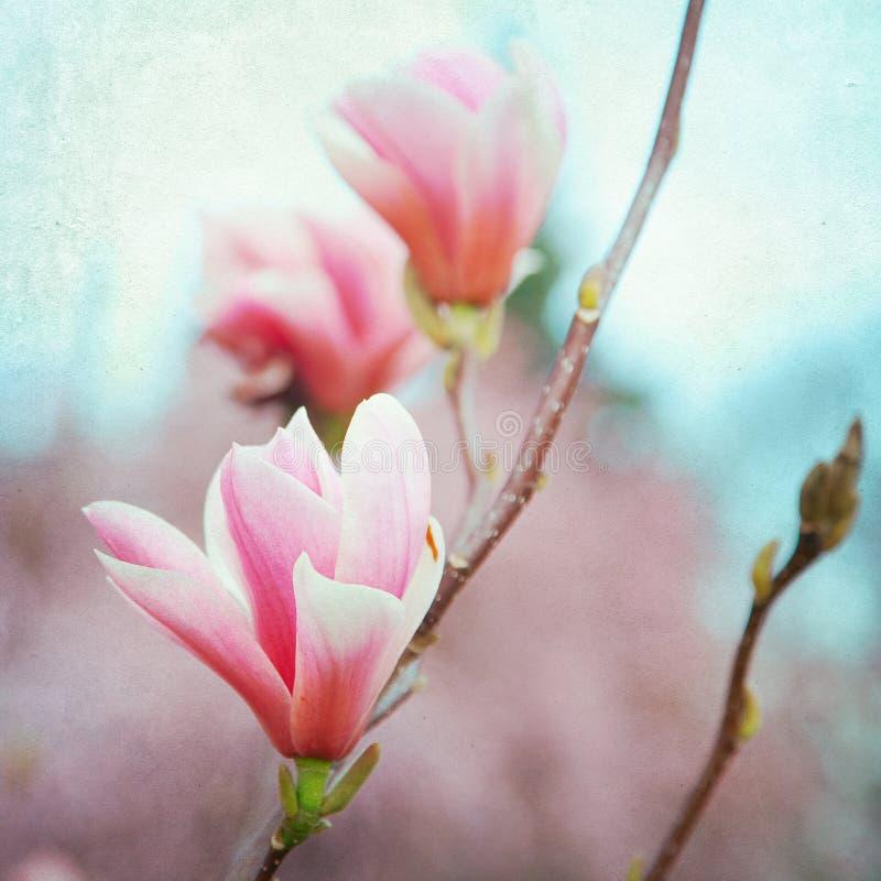 Magnoliablommablomning royaltyfri fotografi