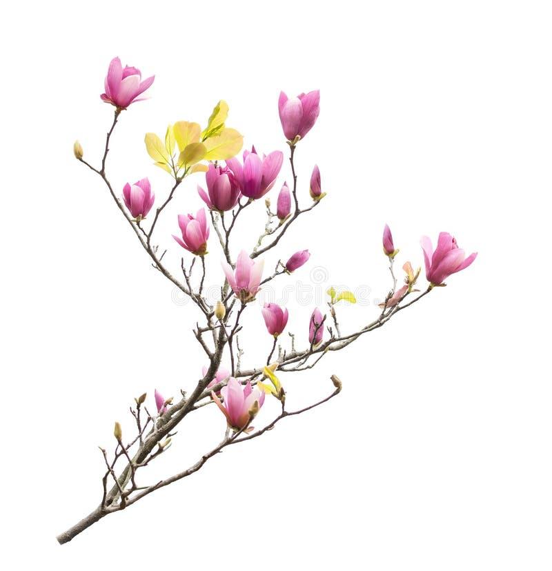 Magnoliablommablomning som isoleras på vit royaltyfri fotografi