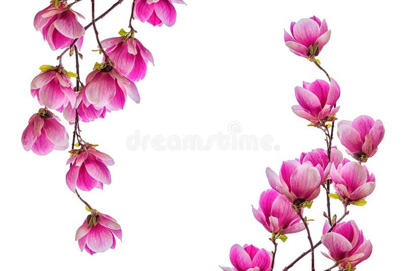 Magnoliablommablomning som isoleras på vit bakgrund arkivfoton