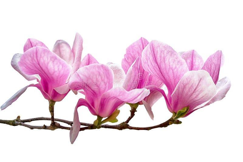 Magnoliablommablomning som isoleras på vit bakgrund royaltyfri bild