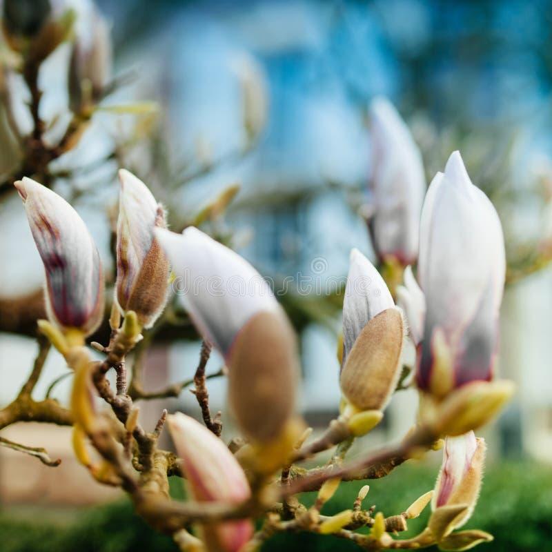 Magnoliablommaknoppar snart som blomstrar fotografering för bildbyråer