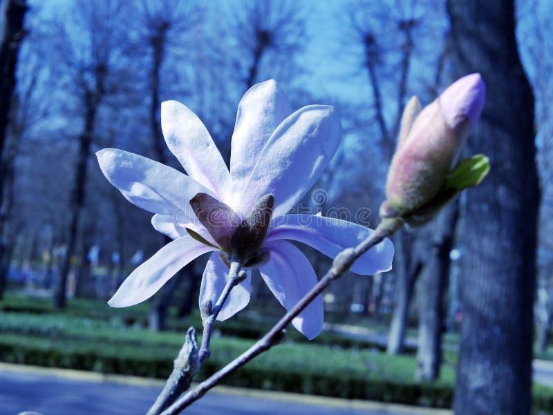 Magnoliablommor mot den blåa himlen och träd i parkera, vår royaltyfri fotografi