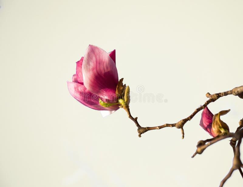 Magnoliablommor, purpurfärgade blommor och filialer på en vit bakgrund, en kvist av ett magnoliaträd royaltyfri foto