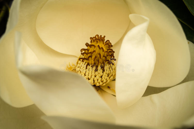 Magnoliablomning royaltyfria bilder