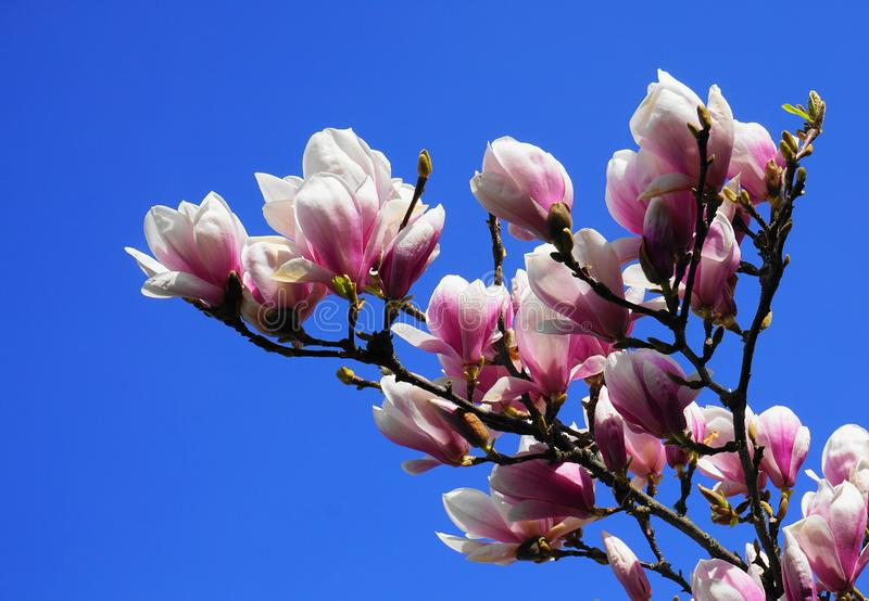 Magnoliablomning H?rliga magnoliablommor mot bakgrund f?r bl? himmel royaltyfri foto