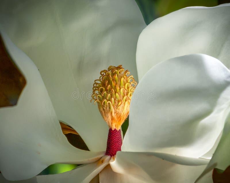 Magnoliablomningcloseup av carpels och stamens royaltyfri fotografi