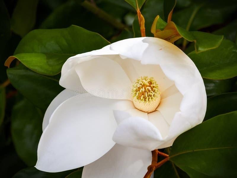Magnoliablomningcloseup av carpels och stamens fotografering för bildbyråer