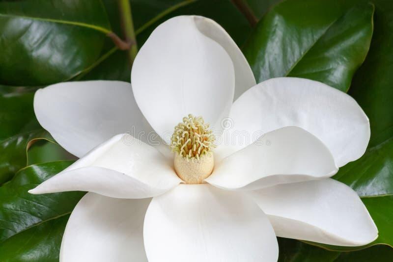 Magnoliablomningcloseup av carpels och stamens arkivfoto