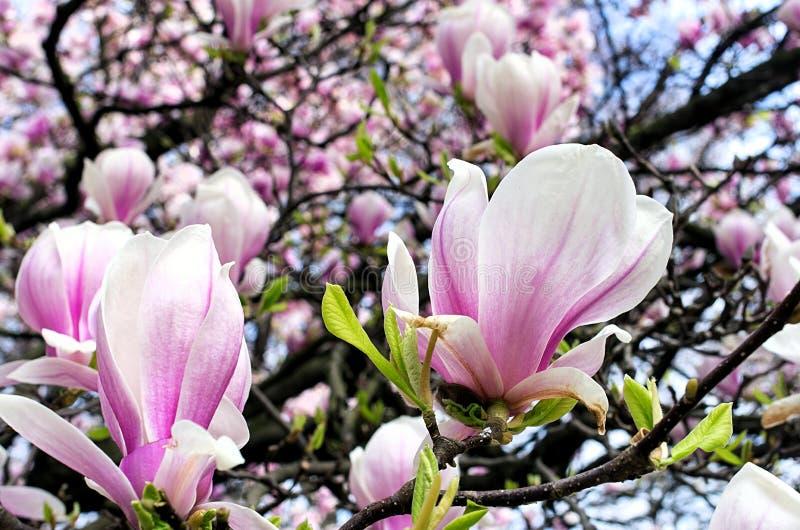 Magnoliablomningen i bakgrunden annan slår ut royaltyfri foto