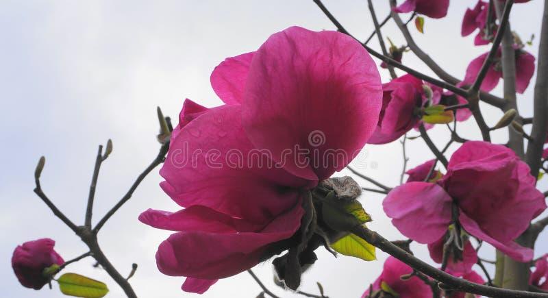 Magnoliablomningträd Jätte- blommor för härlig magnolia mot bakgrund för blå himmel arkivfoton