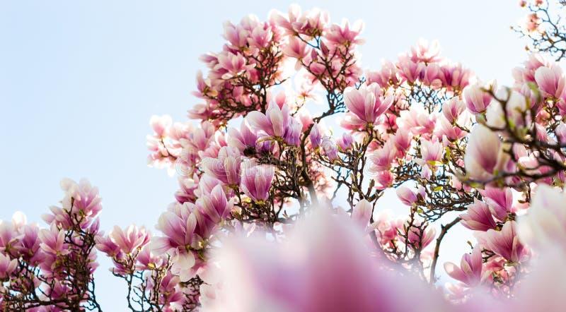 Magnoliaboom in bloesems stock afbeelding