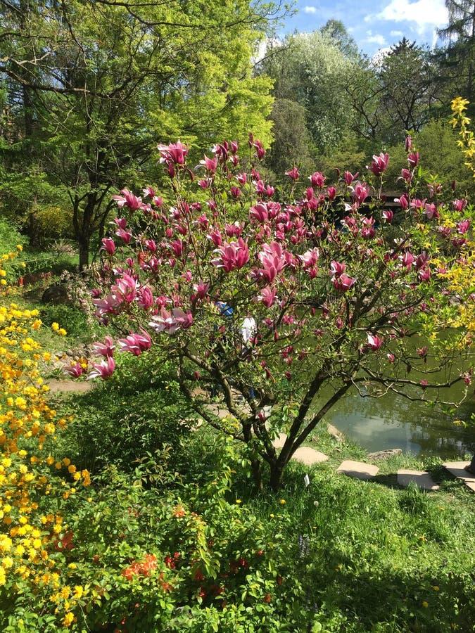 Magnoliaboom die in de lente bloeien royalty-vrije stock fotografie