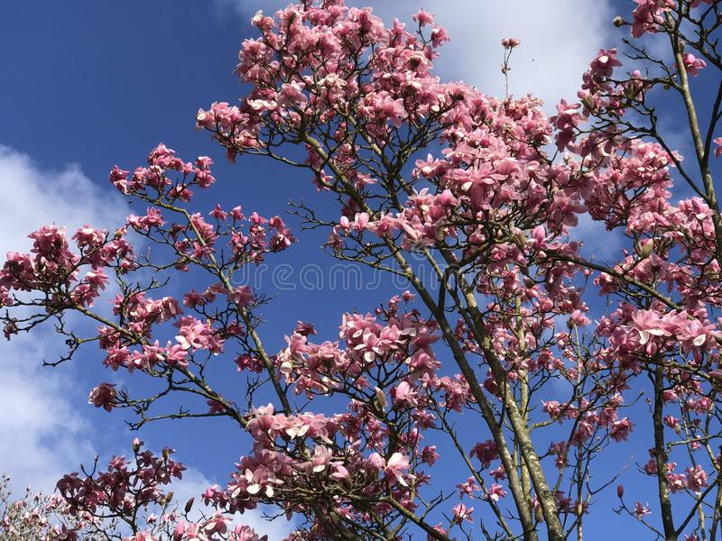 Magnoliaboom royalty-vrije stock afbeelding