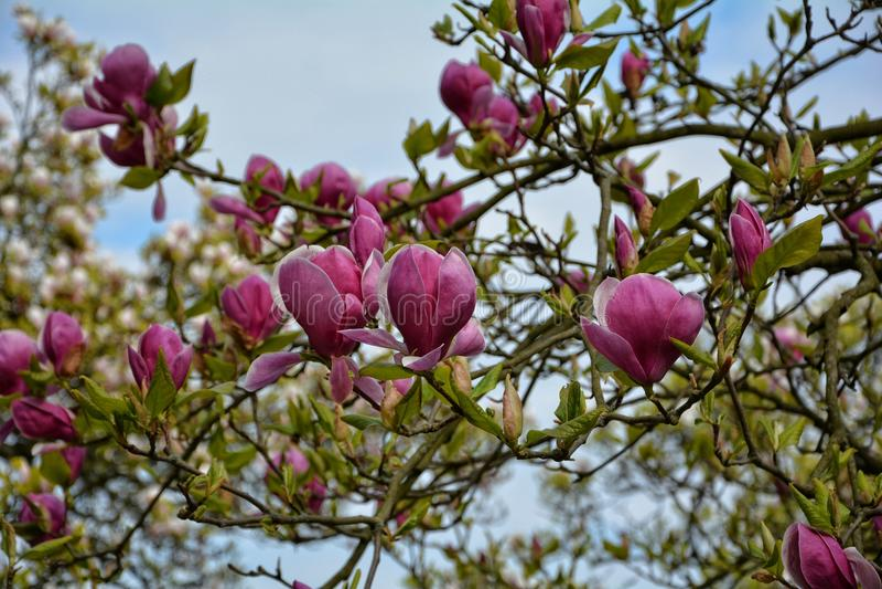 Magnoliaen blomstrar på treen arkivfoton