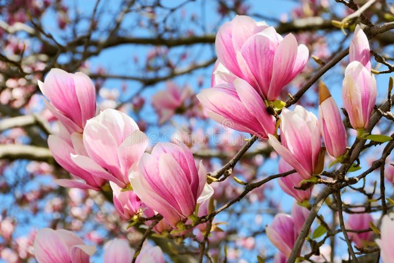 Magnoliaen blomstrar på trevlig whather royaltyfri foto