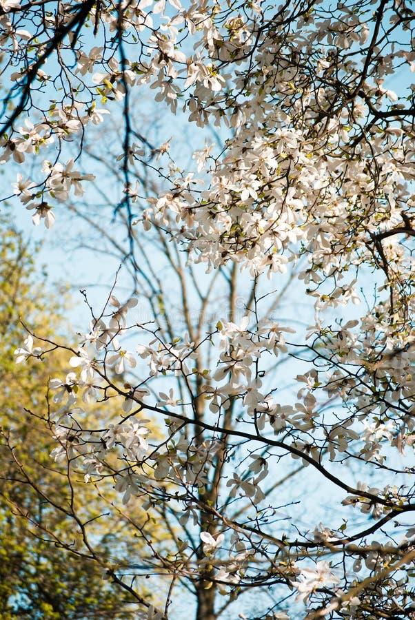 Magnoliafilialer royaltyfria bilder