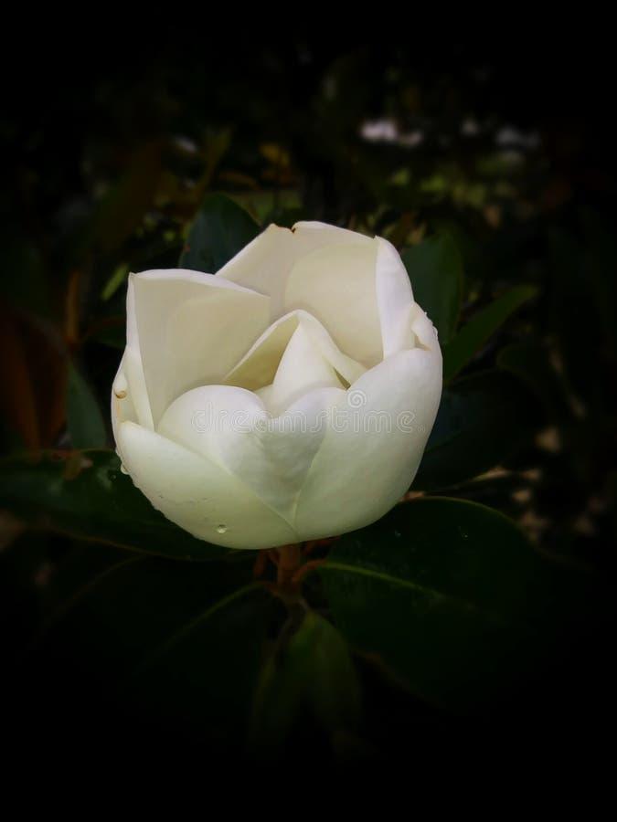 Magnoliageboorte stock afbeelding