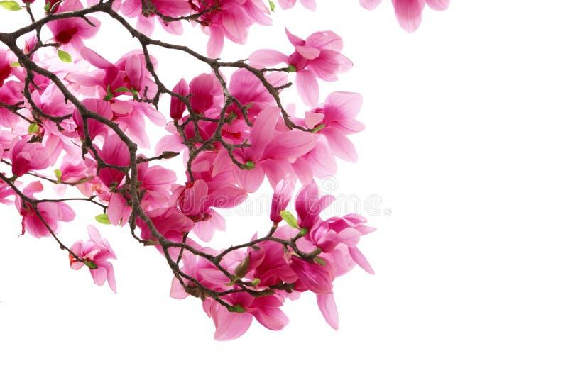 Magnoliaklungor arkivfoton