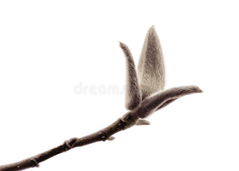 Magnoliaknop op witte achtergrond stock fotografie
