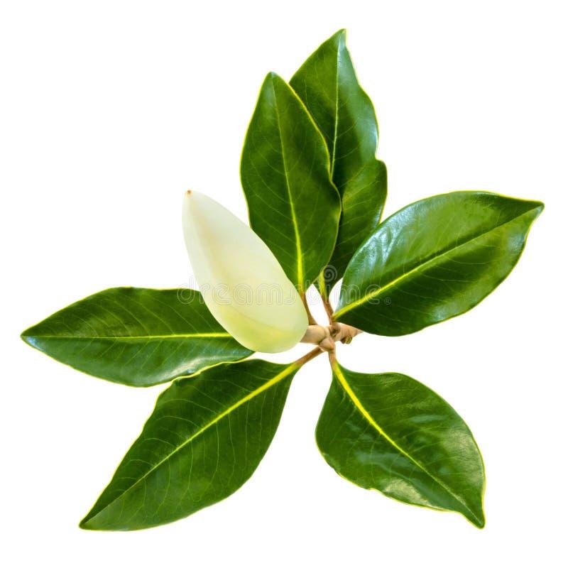 Magnoliaknopp och sidor som isoleras på vit royaltyfri bild