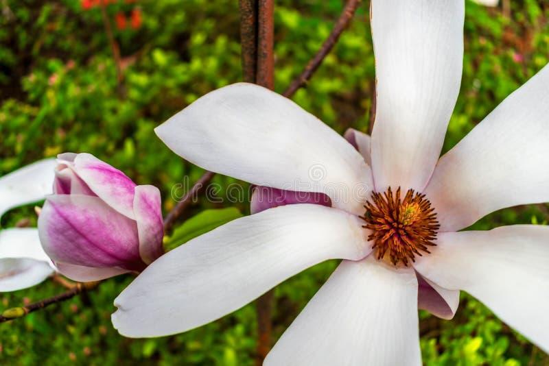 Magnoliakobus 2 stock afbeeldingen
