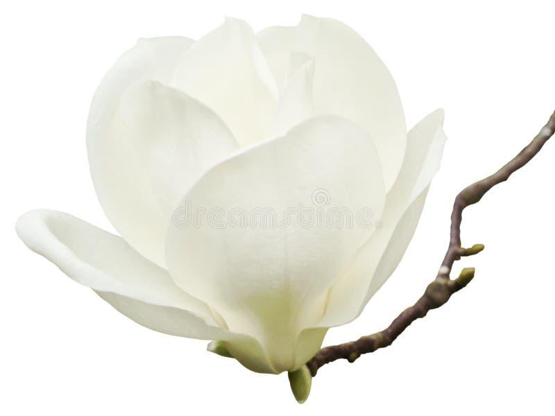 Magnoliakobus royaltyfri foto