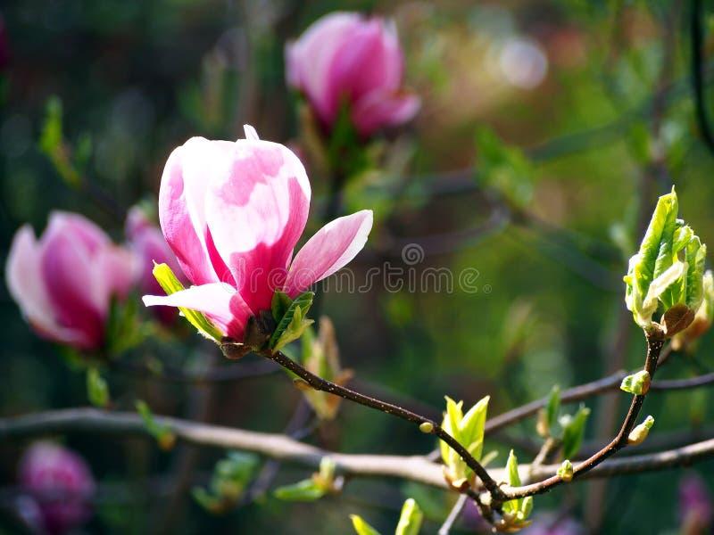 Magnolialiliiflora stock afbeeldingen