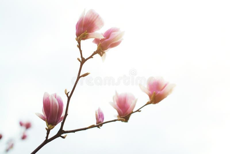 Magnolian blommar i vårtid, blom- bakgrund arkivfoton