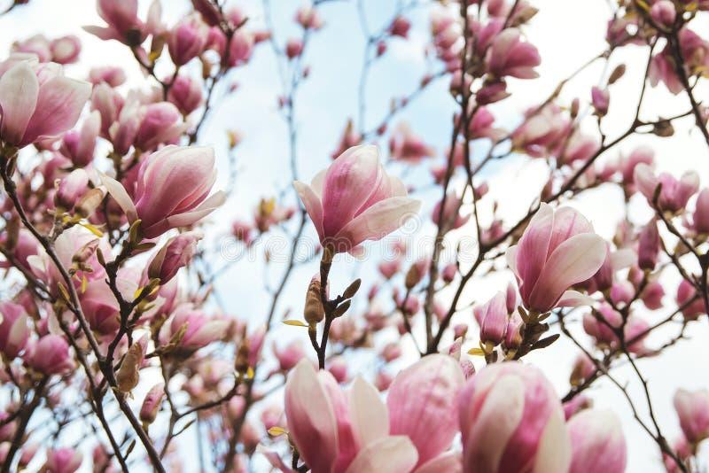 Magnolian blommar i vårtid, blom- bakgrund royaltyfria foton