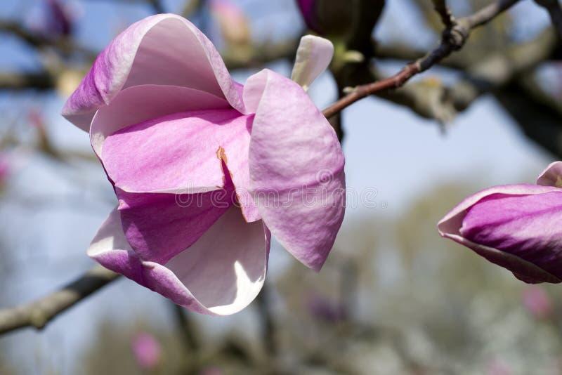Magnolian blommar mot den blåa himlen Rosa blommor för vår av magnolian royaltyfria foton