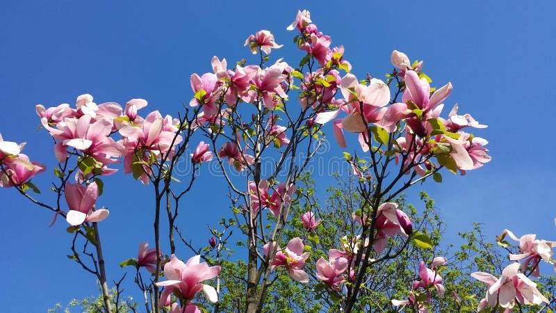 magnolias стоковое изображение rf