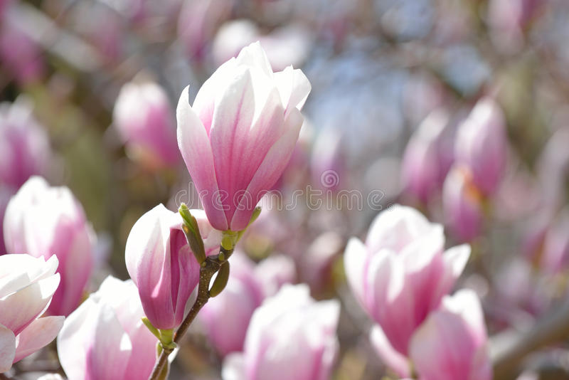 Magnolias fotos de archivo