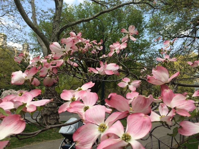 magnolias fotografering för bildbyråer
