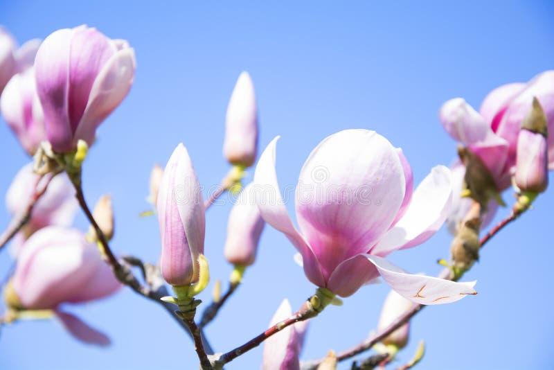 magnolias royaltyfri foto