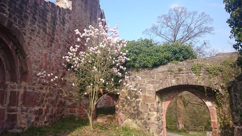 magnolias arkivfoto